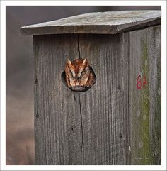 Eastern Screech-Owl    Blackwater National Wildlife Refuge -Maryland     jewelry crafts owls http://mycraftersnest.com/