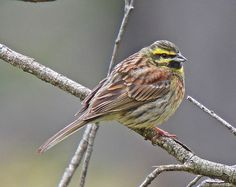 Cirl Bunting, Corsica, France