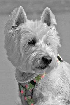 westies are the BEST!!!!!