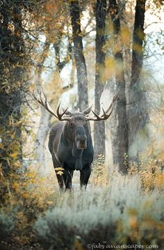 Have you ever seen a Canadian Moose up close in the wild. If you have I bet you'll never forget it!