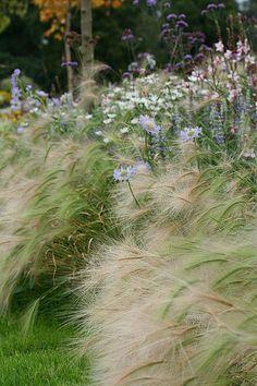 Naturalistic border: foxtail barley, scabious, verbena bonariensis, daisies