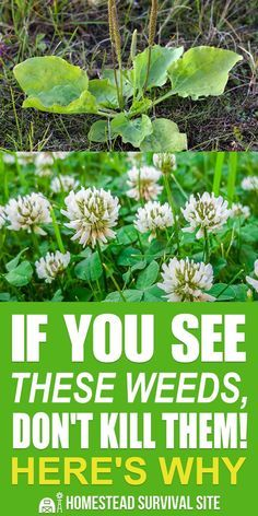 If You See These Weeds, Don't Kill Them! Here's Why is part of Edible wild plants - Not all weeds are created equal Many common backyard weeds offer significant benefits Here are 14 weeds and how to use them for health and nutrition Medicinal Weeds, Edible Wild Plants, Wild Edibles, Homestead Survival, Urban Survival, Wilderness Survival, Healing Herbs, Herbal Medicine, Gardening Tips