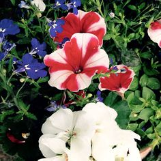 Winning Annual Combinations | Finke Gardens & Nursery - #Peppy #Petunia and #White #Geranium and #Lobelia