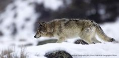 Independent Peer Scientists Say The Service's Gray Wolf Delisting Proposal is Not Based on Good Science; More Bad News from Idaho.  Just when you thought it was safe for wolves in Idaho's Frank Church-River of No Return Wilderness, Idaho announces a new plan to kill up to 60 percent of wolves in this Wilderness; Calling on Idaho Residents: Your Chance To Testify Against Governor Otter's Proposed $2 Million Wolf Killing Fund Has Come!