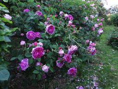Rose di maître d'ecole Dal porpora al viola : qualche idea per nuovi acquisti - Pagina 6