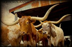 Western Art Rustic Fine Art Photography-Texas Longhorns-Southwest Fine Art Prints