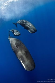 A pair of adult sperm whales flanks a young calf during a dive. Photo by National Wildlife Photo Contest entrant Clark Miller.