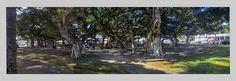 Banyan Tree Triptych by MichelleLynsey, via Flickr