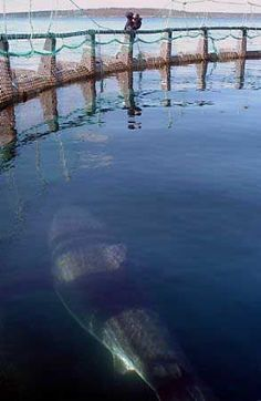 A great white shark swims inside a tuna research pen in Port Lincoln, Australia June, Orcas, Shark Swimming, Big Shark, Shark Pics, Shark Pictures, Cool Sharks, Wale, Great White Shark, Water Life