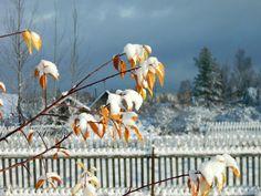 Первый снег #листья #октябрь #осень #сад #снег