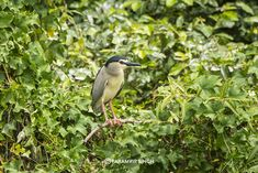 Black Capped Night Heron at Ranganathittu Bird Sanctuary. Only some 130 km from Bangalore, its easily do-able in a day.