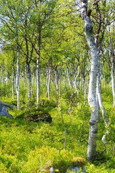 'Polarbirch forest' von Thomas Matzl bei artflakes.com als Poster oder Kunstdruck $16.63