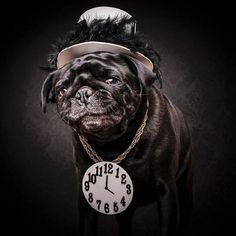 Забавная серия фотографий мопсов в стиле «хип-хоп» от компании «The Dog Photographers»