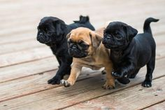 handsomedogs:Honor Shots  Pugs!
