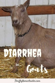 It's not unusual to see someone asking for advice on social media, simply saying that their goat has diarrhea. Unfortunately, that's not an easy question to answer because there are a couple dozen possible causes. Broadly speaking, it can be caused by viruses, bacteria, protozoa, worms, stress, toxic substances, and diet. #goathealth #raisinggoats Breeding Goats, Nigerian Dwarf Goats, Raising Goats, Baby Goats, Chickens Backyard, Livestock, Worms, Stress, Couple