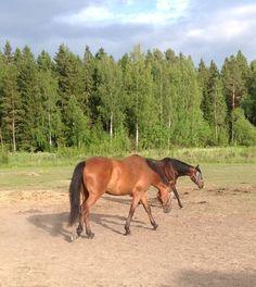 Minnan kauniit hevoset Horses, Animals, Animales, Animaux, Animal, Animais, Horse