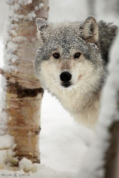 Snowy Wolf - so intelligent looking - just beautiful!