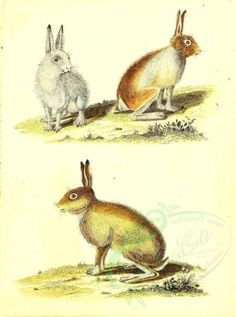 lepus variabilis - high resolution image from old book. Museum, Old Book Pages, Art Clipart, Picture Collection, Scrapbook Paper Crafts, Wall Collage, Vintage Decor, Animal Kingdom, Mammals