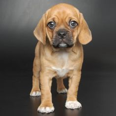 New breeds - Puggle Pug Beagle - My Doggy Is Delightful Puggle Puppies, Pug Beagle, Westie Dog, Beagle Mix, Chihuahua Dogs, Beagles, Puppys, Small Puppies, Small Dogs