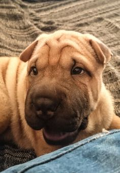 My#baby#sharpei#sakura