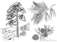 Zbarvení.  borovice