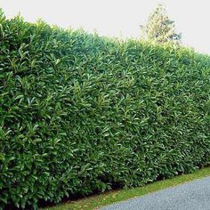 """10 Evergreen Shrubs for Privacy (Zone: 8 – While an impressive fence does provide a welcome sense of privacy, even the nicest ones can have the unfortunate effect of shouting """"keep out"""". Tall, thick, and Shrubs For Privacy, Privacy Trees, Privacy Hedges Fast Growing, Fast Growing Trees, Shrubs For Landscaping, Modern Landscaping, Landscaping Ideas, Cerca Natural, Landscape Design"""