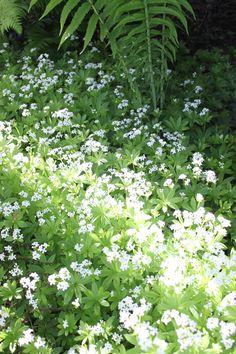 Gallium odoratum - Sweet Woodruff in my garden.  www.skaladesign.ca