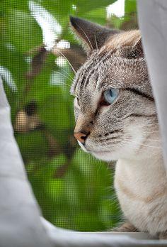 ˚Siamese cat lynx point