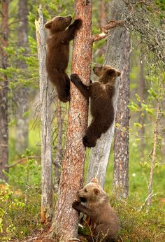 Frightened Bear Cubs -