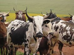 Nguni Cattle Piketberg, South Africa Bull Painting, Musk Ox, Gado, Pictures To Paint, Exotic Pets, Livestock, Cattle, Farm Animals, Animal Photography