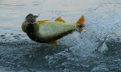 Ouvimos um especialista do interior de São Paulo para a pesca com iscas naturais. Aproveite!