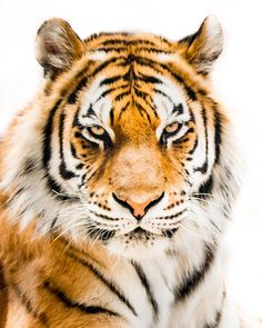 Amur Tiger by Abeselom Zerit on 500px
