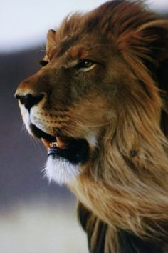 Roar Lion Roar so that the world could hear you ! (Save our planet !!!)