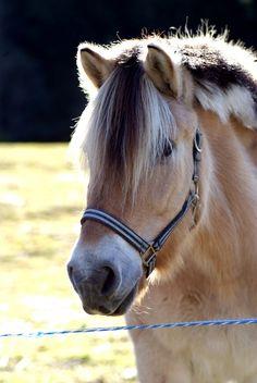 Norwegian Fjord Horse - title Prins.