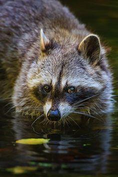 Raccoons. Deceptively cute. Actually ferocious.