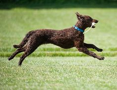 Curly Coated Retriever information, links and pictures Curly Coated Retriever, Retriever Dog, Hunting Dogs, All Dogs, Dog Breeds, Dog Cat, Puppies, Cats, Happiness