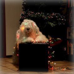 I only tried to help. by Cees Bol Cute Cats And Dogs, Big Dogs, I Love Dogs, Animals And Pets, Cute Animals, Old English Sheepdog Puppy, English Dogs, Christmas Animals, Christmas Pets