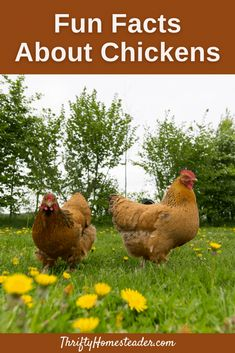 Chickens are fascinating creatures that are beautiful and entertaining, and they give us eggs! But did you know all of these fun facts about chickens? Facts For Kids, Fun Facts, Chicken Facts, Chicken Life, Chicken Waterer, Small Frog, Farm Lifestyle, Plant Guide, Chicken Breeds