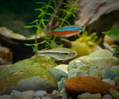 Black Neon Tetra and Cardinal tetra Freshwater Aquarium Plants, Tropical Fish Aquarium, Planted Aquarium, Freshwater Fish, Neon Tetra, Black Neon, Black White, Water Animals, Colorful Plants