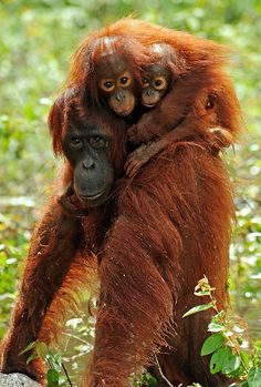 Orangutans -Photos of Endangered and Vulnerable Species from Around the Globe- Smithsonian Magazine