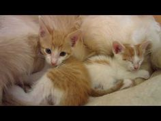 (852) Two Tiny Kittens Cuddling With Big Dog Foster Father - 4 Weeks Old - Napping & Purring - YouTube