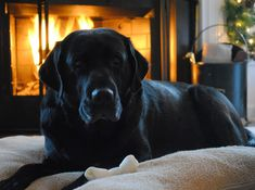 - if you have a Lab, you know there's not even a little teeny weeny mean bone in his body.