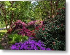 Dendropark with Colorful Rhododendrons Metal Print by Jenny Rainbow. All metal prints are professionally printed, packaged, and shipped within 3 - 4 business days and delivered ready-to-hang on your wall. Choose from multiple sizes and mounting options. Got Print, Any Images, Your Image, Fine Art America, Rainbow, Colorful, Printed, Business, Garden
