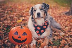 Keep your pet safe on Halloween with these tips. Halloween Photography, Animal Photography, Photography Ideas, Dog Photos, Dog Pictures, Animal Pictures, Cute Puppies, Cute Dogs, Aussie Puppies