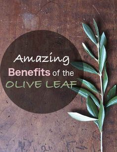 The olive leaf as medicine: it has powerful abilities to protect against age related diseases, promote healthy gut flora, and strengthen your immune system. Healthiest Foods, Healthy Foods, Healthy Recipes, Arthritis, Factors, Health Benefits, Diabetes, Medicine, Cancer
