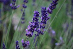 Herbal Spotlight: Lavender (And Giveaway Winner! Lavender Bouquet, Lavandula Angustifolia, Flower Beds, Natural Remedies, Herbalism, Home And Garden, Herbs, Rose, Nature
