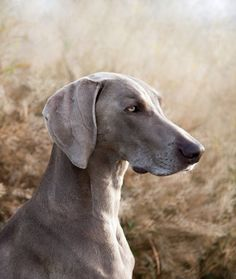 10 Cool Facts About Weimaraners | weimaraner-running-in-snow