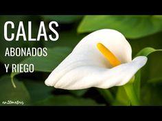 ABONADO y RIEGO de CALAS (lirios de agua) para que florezcan más || en20metros - YouTube