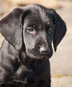 Gilda the Lab mix-Sweet little girl and she has a happy life on a farm! #LabradorRetriever