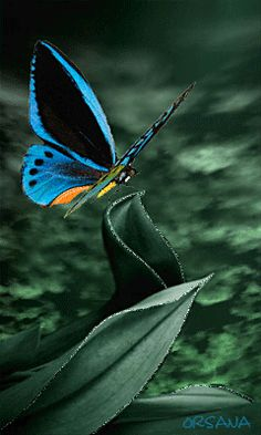 The perfect Butterfly Beautiful Animated GIF for your conversation. Discover and Share the best GIFs on Tenor. Butterfly Gif, Butterfly Kisses, Blue Butterfly, Most Beautiful Butterfly, Beautiful Gif, Gif Pictures, Images Gif, Beau Gif, Animation